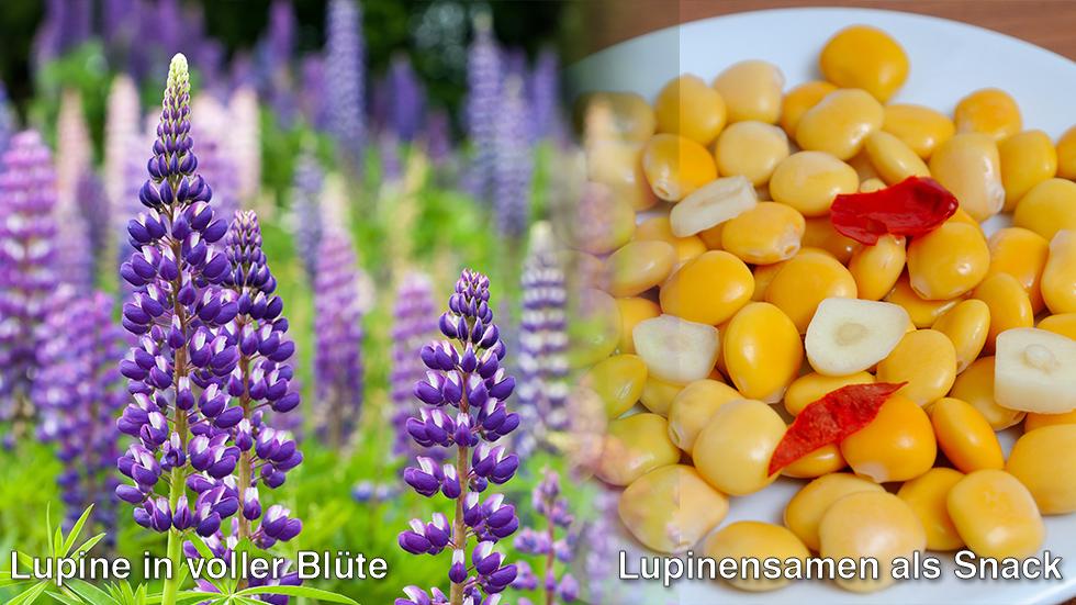 Lupine in Blüte und eingelegt als Snack